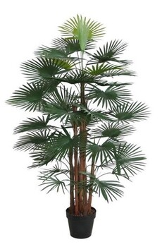 Stoneleigh & Roberson Fortunei in Pot Palm 120cmH